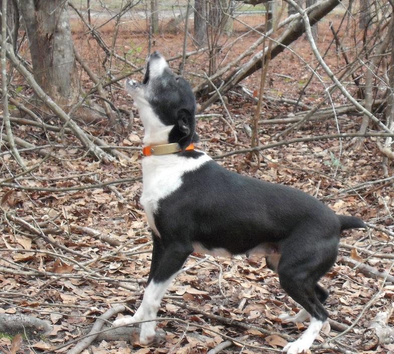 Cur Squirrel Dogs For Sale